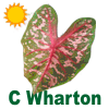 Carolyn Wharton Caladiums