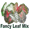Fancy Leaf Mixed Color Caladiums