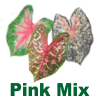 Fancy Leaf Pink Mix Caladiums