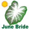 June Bride Caladium