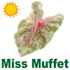 Miss Muffet Caladiums