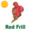 Red Frill Caladiums