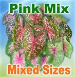 Pink Mix Caladiums - Mixed Sizes