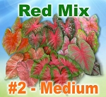 Red Mix Caladiums - Medium Bulbs