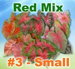Red Mix Caladiums - By the Box