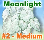 Moonlight Caladiums -Medium Bulbs by Count