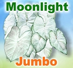 Moonlight Caladiums - Jumbo Bulbs