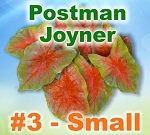 Postman Joyner Caladiums - By the Box