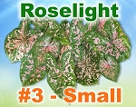 Roselight Caladiums - Small Bulbs