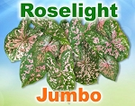Roselight Caladiums - Jumbo Bulbs