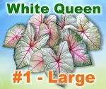 White Queen Caladiums - Large Bulbs
