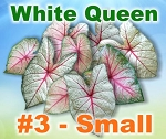 White Queen Caladiums - Small Bulbs by Count