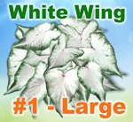 White Wing Caladiums - Large Bulbs