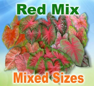 Red Mix Caladiums - Mixed Sizes