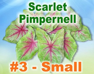 Sclt Pimpernell Caladiums - By the Box