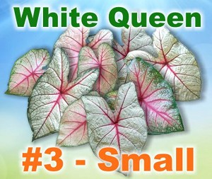 White Queen Caladiums - By the Box