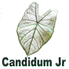 Candidim Junior Caladiums