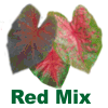 Fancy Leaf Red Mix Caladiums