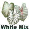 Fancy Leaf White Mix Caladium