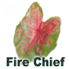 Fire Chief Caladiums