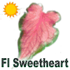 Florida Sweetheart Caladiums