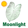 Moonlight Caladiums