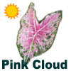 Pink Cloud Caladiums