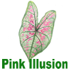 Pink Illusion Caladiums