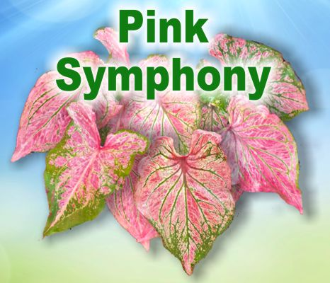 Pink Symphony Caladiums - Mixed Sizes