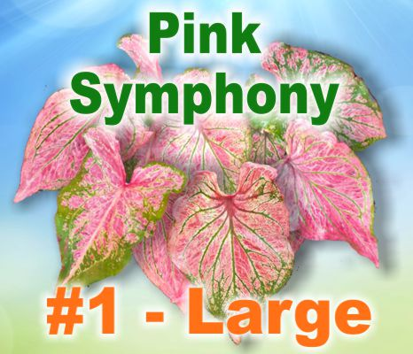 Pink Symphony Caladiums - Large Bulbs