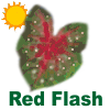 Red Flash Caladiums