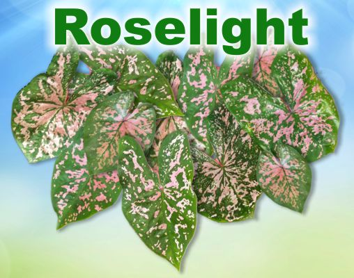 Roselight Caladiums - Mixed Sizes