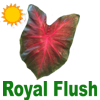 Royal FlushCaladiums