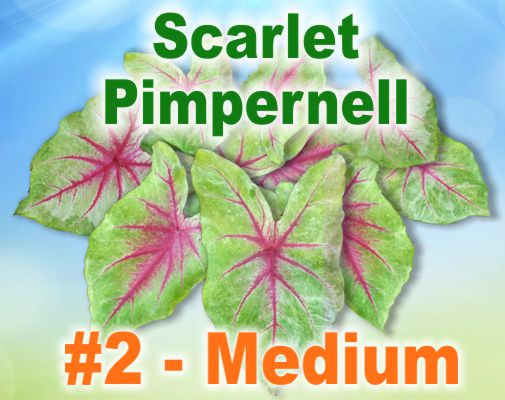 Scarlet Pimpernell Caladiums - Medium Bulbs by Count