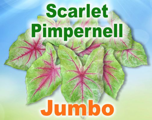 Scarlet Pimpernell Caladiums - Jumbo Bulbs by Count