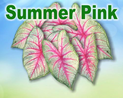 Summer Pink Caladiums - Mixed Sizes