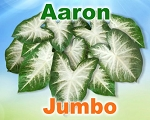 Aaron Caladiums - Jumbo Bulbs by Count
