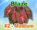 Blaze Caladiums -  Medium Bulbs