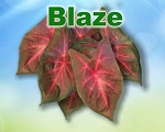 Blaze Caladiums - Mixed Sizes
