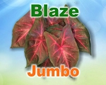 Blaze Caladiums -  Jumbo Bulbs by Count