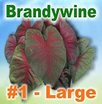 Brandywine Caladiums - Large Bulbs by Count