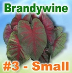 Brandywine Caladiums - Small Bulbs