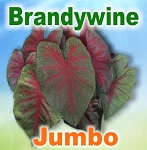 Brandywine Caladiums - Jumbo Bulbs