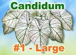 Candidum Caladiums - Large Bulbs by Count
