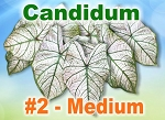 Candidum Caladiums - Medium Bulbs by Count
