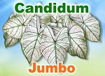 Candidum Caladiums - Jumbo Bulbs