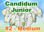 Candidum Jr Caladiums - Medium Bulbs by Count