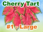 Cherry Tart Caladiums - Large Bulbs by Count