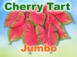 Cherry Tart Caladiums - Jumbo Bulbs by Count