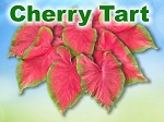 Cherry Tart Caladiums - Mixed Sizes